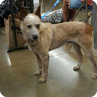 Australian Cattle Dog Mix Dog for adoption in Fresno, California - Flame