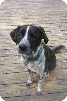 Border Collie/Labrador Retriever Mix Dog for adoption in Minerva, Ohio - Opie