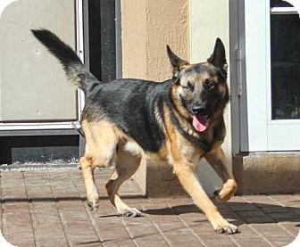 German Shepherd Dog Dog for adoption in Jupiter, Florida - Alaki aka Tito