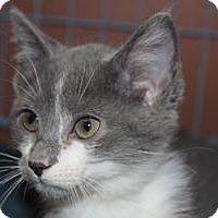 Manx Kitten for adoption in Louisville, Kentucky - Willow
