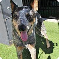 Adopt A Pet :: Bailey - Grass Valley, CA