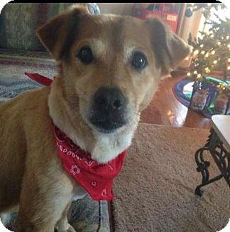 Labrador Retriever/Terrier (Unknown Type, Medium) Mix Dog for adoption in Chattanooga, Tennessee - * Nuggett