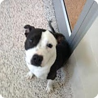 American Staffordshire Terrier Mix Dog for adoption in Aiken, South Carolina - Panda