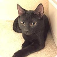 Domestic Shorthair Kitten for adoption in Cumming, Georgia - Banjo