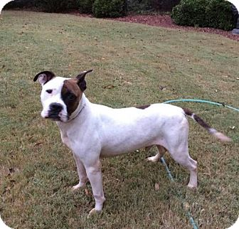 Boxer Mix Dog for adoption in Westminster, Maryland - Ash