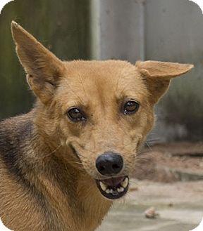 Terrier (Unknown Type, Medium)/Thai Ridgeback Mix Dog for adoption in Pickering, Ontario - Tori