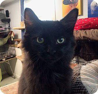 Domestic Longhair Kitten for adoption in Lombard, Illinois - Channing