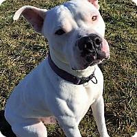 Adopt A Pet :: Mitch! best bully boy! - Snohomish, WA