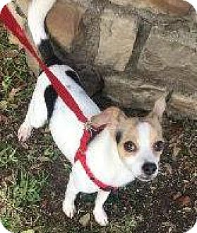 Jack Russell Terrier/Beagle Mix Dog for adoption in Richardson, Texas - Wishbone