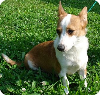Corgi Mix Dog for adoption in Afton, Tennessee - Hope