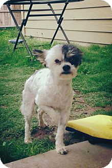 Shih Tzu Mix Dog for adoption in Ft. Collins, Colorado - Jimmy