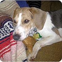 Adopt A Pet :: Opie - Novi, MI