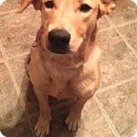 Adopt A Pet :: Ginger - Hop Bottom, PA