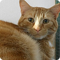 Domestic Shorthair Cat for adoption in Grinnell, Iowa - Rocky