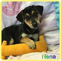 Adopt A Pet :: Nena - Hollywood, FL