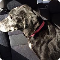 Adopt A Pet :: Abigail - Cumming, GA