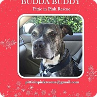 Adopt A Pet :: Budda Buddy - nashville, TN