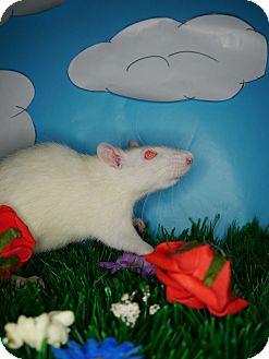 Rat for adoption in Welland, Ontario - Peony