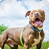 Pit Bull Terrier Mix Dog for adoption in Livonia, Michigan - Rocko - CP