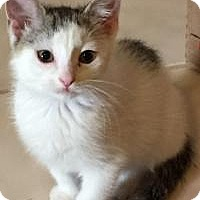 Adopt A Pet :: Cotton Tail - Duluth, GA
