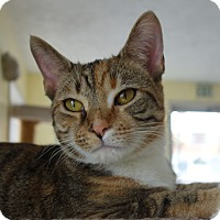 Domestic Shorthair Cat for adoption in Greenfield, Indiana - Lolita