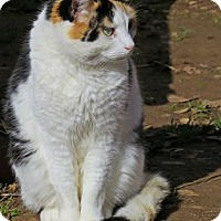 Calico Cat for adoption in El Dorado Hills, California - Isabella