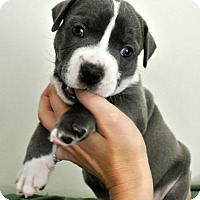 Adopt A Pet :: Eq litter - LooLoo - ADOPTION PENDING - Livonia, MI