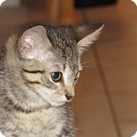 Domestic Shorthair Kitten for adoption in Palm Coast, Florida - Cher