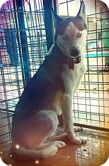 Husky Dog for adoption in Odessa, Texas - Ash