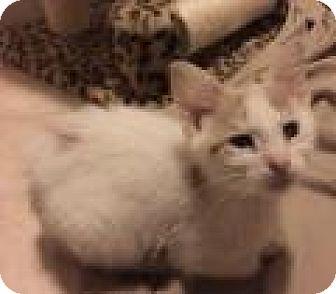 Domestic Shorthair Kitten for adoption in East Hanover, New Jersey - Albert - Sweetheart