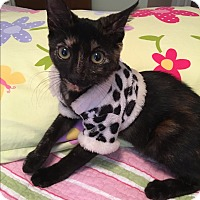 American Shorthair Kitten for adoption in Avon Park, Florida - Shirley