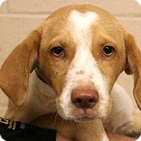 Adopt A Pet :: Arnold Palmer~meet me~ - Glastonbury, CT