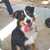 Australian Shepherd Dog for adoption in Cary, North Carolina - Finley