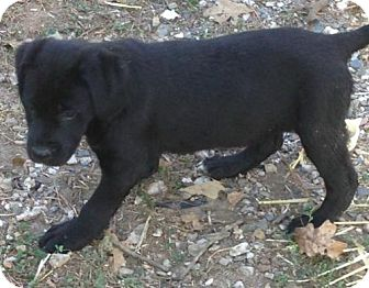 Border Collie/Labrador Retriever Mix Puppy for adoption in Hagerstown, Maryland - Linley