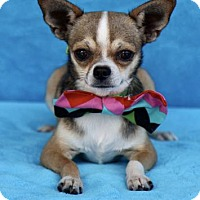 Chihuahua Dog for adoption in Picayune, Mississippi - COURTESY POST - Blaze