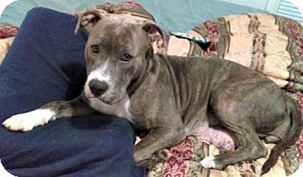 Staffordshire Bull Terrier/Pit Bull Terrier Mix Dog for adoption in Spring Lake, New Jersey - Autumn