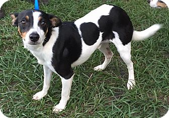 Rat Terrier Mix Dog for adoption in Orlando, Florida - Fabian
