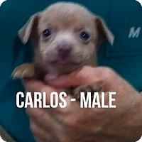 Adopt A Pet :: CARLOS - Glendale, AZ