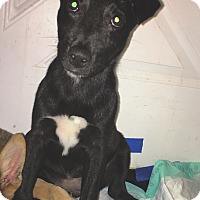 Adopt A Pet :: Luna (DENVER) - Fort Collins, CO