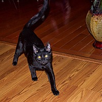 Domestic Shorthair Kitten for adoption in Jerseyville, Illinois - Shadow