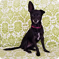Chihuahua/Terrier (Unknown Type, Small) Mix Dog for adoption in North Las Vegas, Nevada - Teaka
