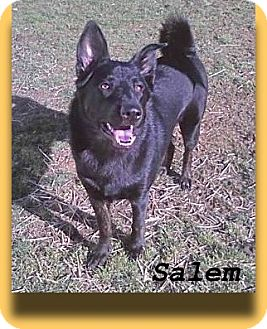 German Shepherd Dog/Akita Mix Dog for adoption in Elyria, Ohio - Salem-I need a dog person!