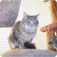 Domestic Mediumhair Cat for adoption in Chattanooga, Tennessee - Harlee