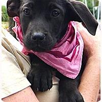 Adopt A Pet :: Abbygale cutie pie - Sacramento, CA