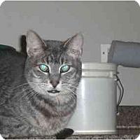 Adopt A Pet :: Cuddles - Lombard, IL