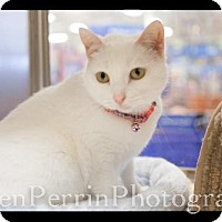 Domestic Shorthair Cat for adoption in Houston, Texas - Pearl