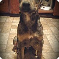 Adopt A Pet :: Triton - Parker, CO