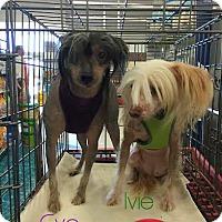 Adopt A Pet :: Ivie - House Springs, MO