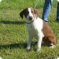 Adopt A Pet :: carley - Cameron, MO