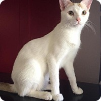 Domestic Shorthair Cat for adoption in Gilberts, Illinois - Mrs. Budinski